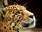 In spite of hunters sabotage, jaguars are tried to be saved