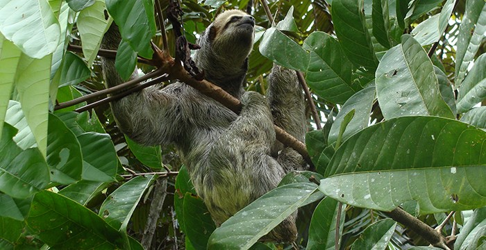 Pale throated sloth (Bradypus tridactylus)