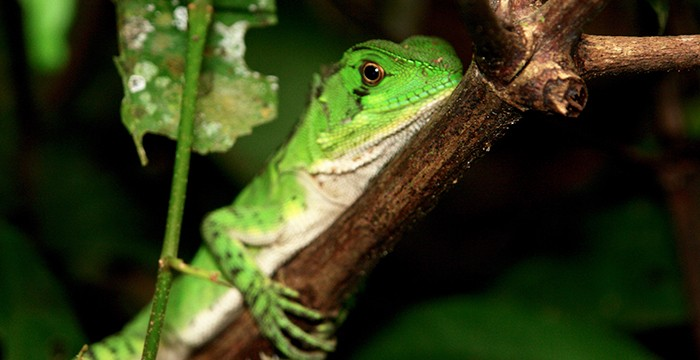 Amazon Wood Lizard (Enyalioides laticeps)